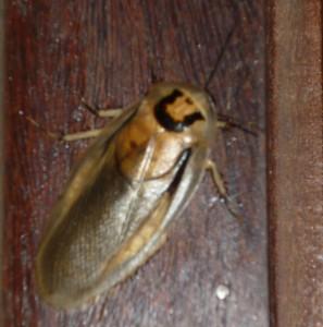 scarabée Brésil