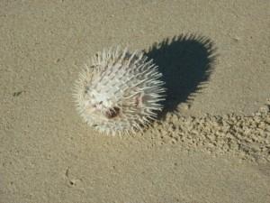 Diodon échoué, plage de Zumbi